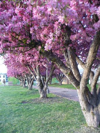 Inn of the Five Graces: Cherry Blossom Tree