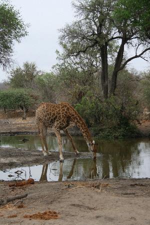 Kings Camp: Giraffe drinking