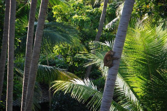 Baan Sijan Resort : The Baan Sijan Coconut picker