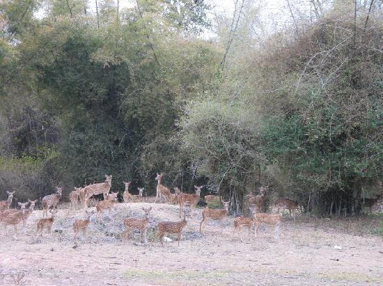 Bandipur, Indien: Lot of dears U can spot easily