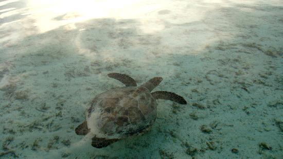 ชายา ลากูน ฮาคูรา ฮูรา รีสอร์ท-ออล อินคลูซีฟ: Turtle behind water bungalow