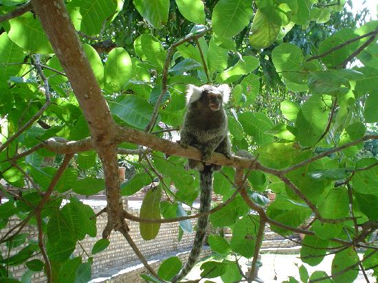 Hotel Chalet Suisse: Uno de los pequeñísimos monos, en los árboles del jardin