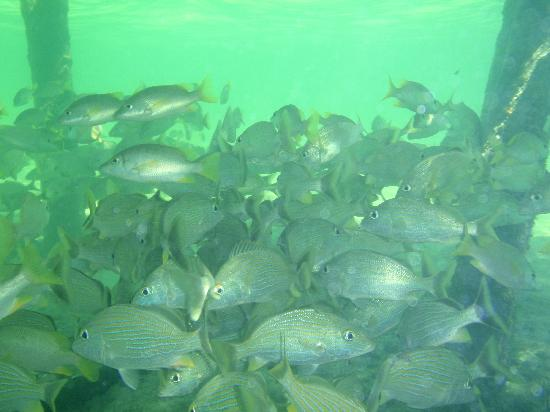 Playa Sonrisa: Lot of fish under the pier