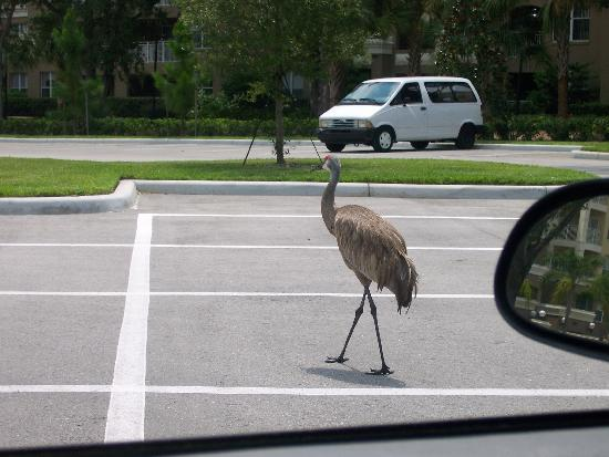 Vacation Village at Parkway: they had these huge birds just walking around outside the hotel!! lol