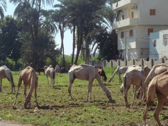 Amon Hotel Luxor: grazing horses and camels near to hotel