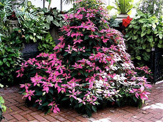 The Inn on Biltmore Estate: In the conservatory. Unusual poinsettia.