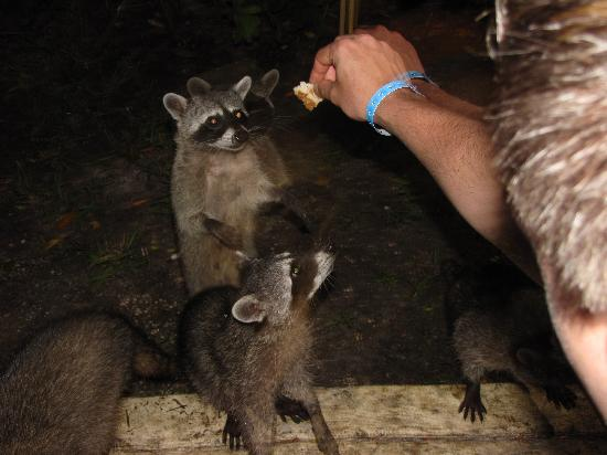 Sandos Caracol Eco Resort: Feeding the Racoons in the evening outside the buffet.