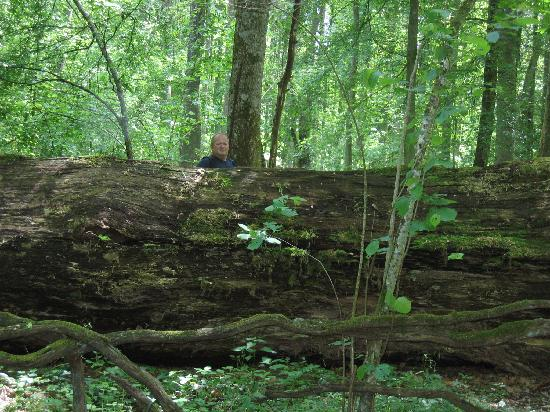 Bialowieza, Polonya: a 900 yrs  old Oak that fell 35 years ago!!