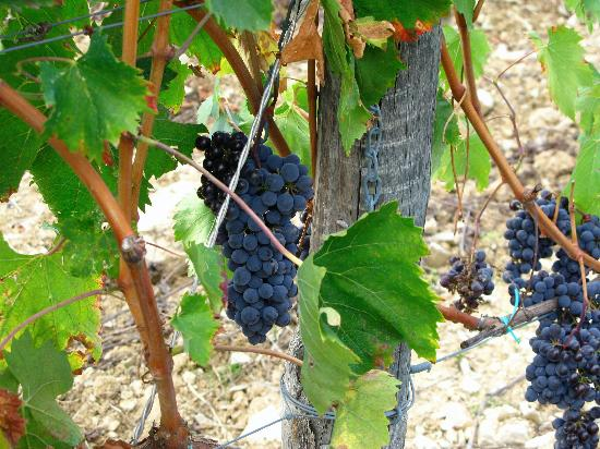 Collelungo: Grapes for Harvest