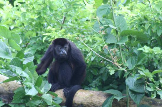 Casa Chameleon Hotel Mal Pais: Monkey at Casa Chameleon