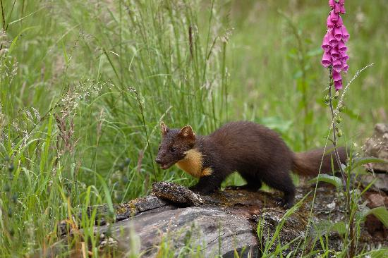 Aigas Field Centre: One of the pine martens i saw at AIgas!