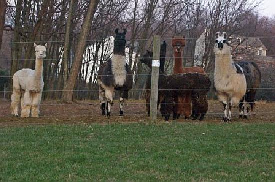 Chimney Hill Estate & Ol' Barn Inn: The Alpaca family