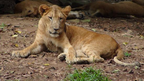 Nehru Park: lion