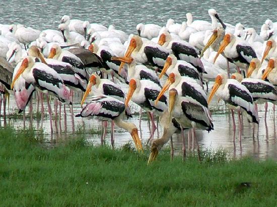 Habarana, Sri Lanka: Painted storks