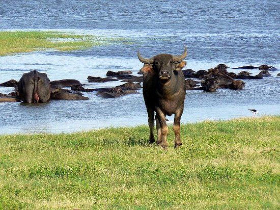 Habarana, Sri Lanka : Water Buffalo