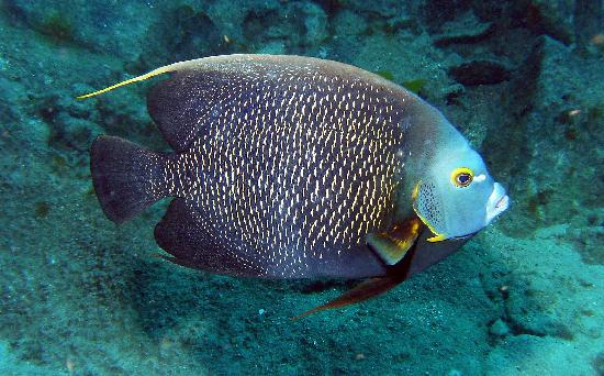 Angel fish picture of grand cayman cayman islands for Fishing grand cayman