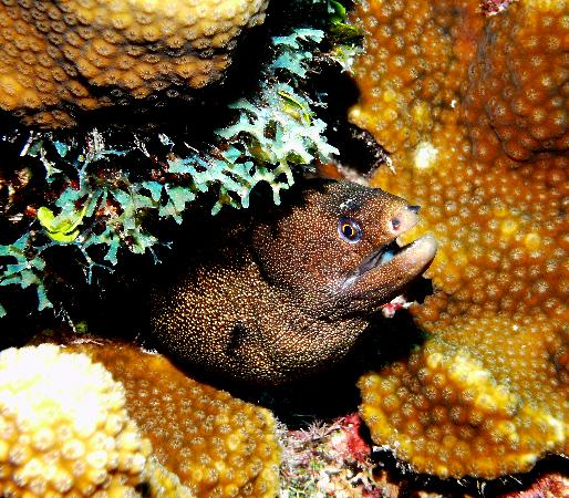 Grand Cayman : Goldentail Spotted Eel smiling for pic