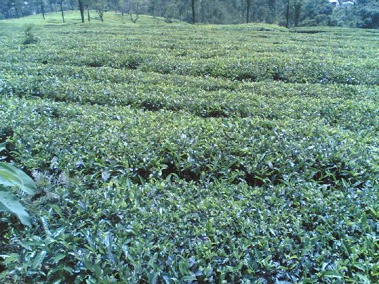 Ooty, India: tea garden