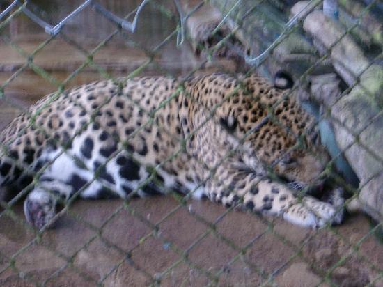 Summit Botanical Gardens: Jaguar