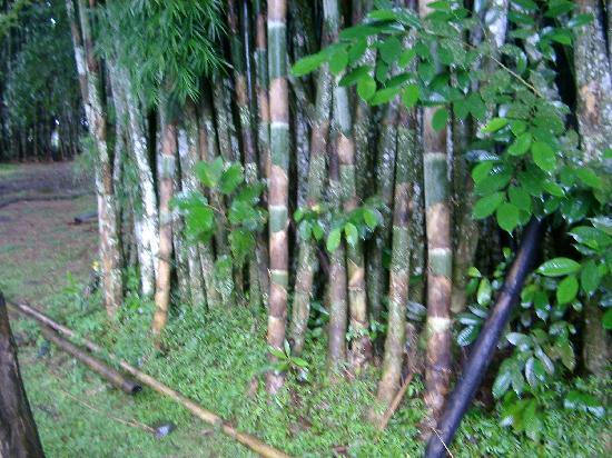 Summit Botanical Gardens: Bamboo