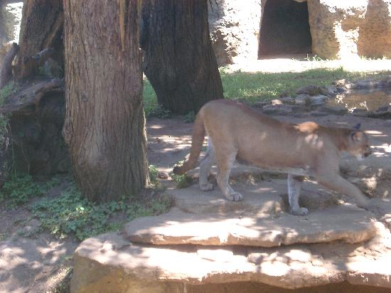 La Aurora Zoo: Mountain Lion