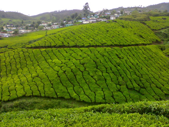 Kumarakom, India: munnar tea garden