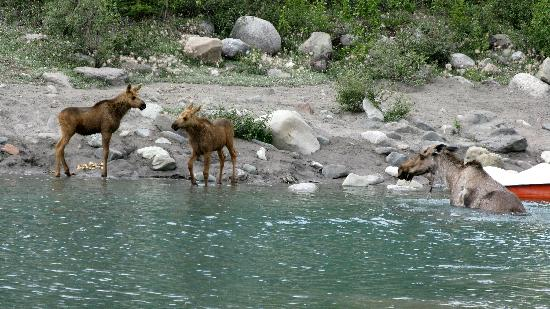 Currant Ridge: Moose and babies outside McCarthy