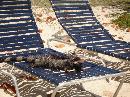 Crystal Cove Beach Resort on Sapphire Bay: iguanas like the chairs