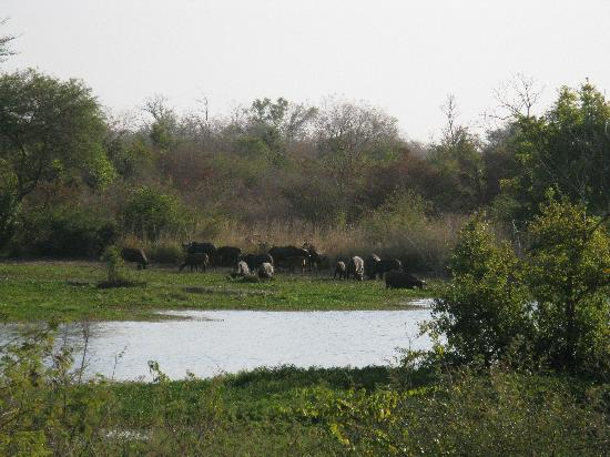 W National Park, Niger: buffaloes, National Parc W