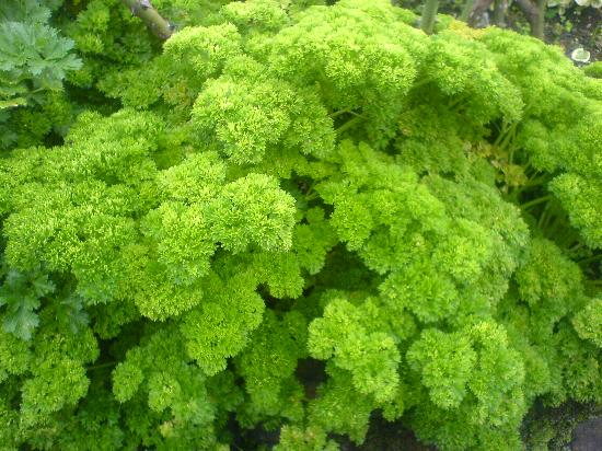 The Hill Club: A hedge of Parsley