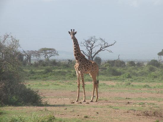 Kenia: Giraffe
