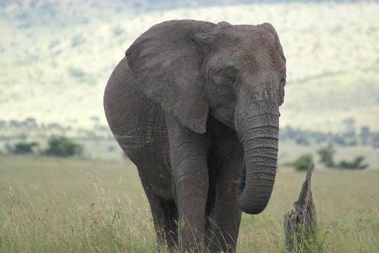 Sarova Mara Game Camp: there was no shortage of elephants
