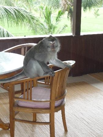 Alam Shanti: a monkey came into our balcony!