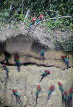 Manu Wildlife Center: MWC- Macaws at clay lick