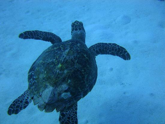 Anthony's Key Resort: turtle