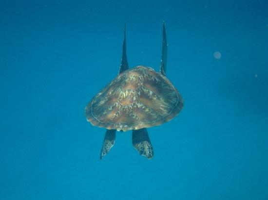 La Gran Barrera de Coral, Australia: diving turtle!