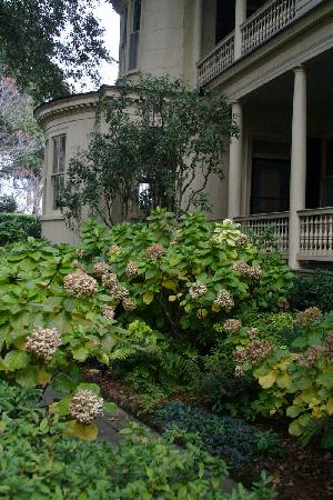 Charlotte Street Cottage : Hydrangeas Long the walkway.