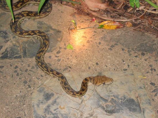 Bloomfield Lodge: Carpet Python on a footpath