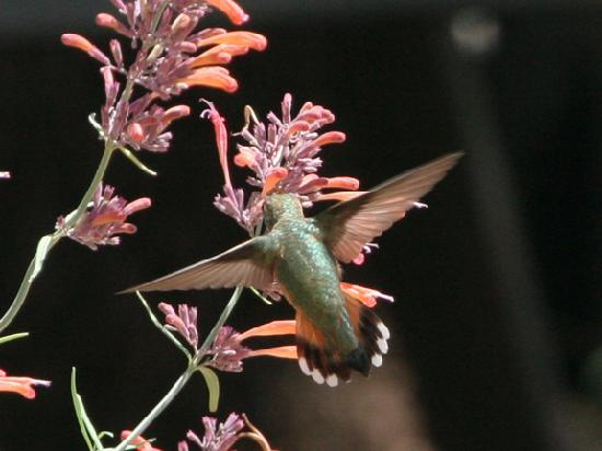 Ash Canyon Bed & Breakfast: Rufous Hummer