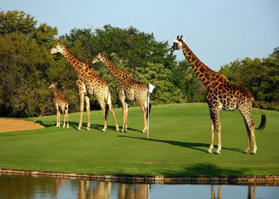 Hans Merensky Hotel & Spa: Giraffe family - Golf in the Wild