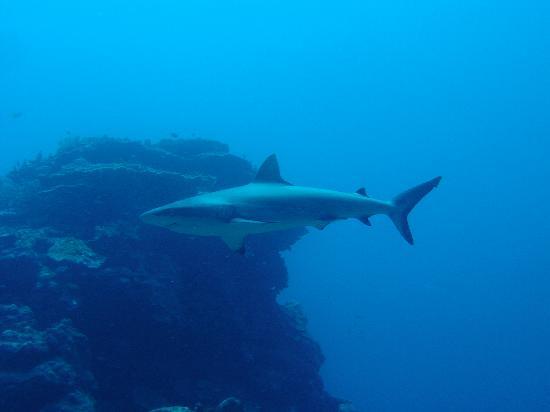 New Caledonia: le requin .......