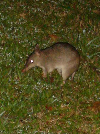 Kookaburra Lodge Motel: Bandicoot seen in the garden at night