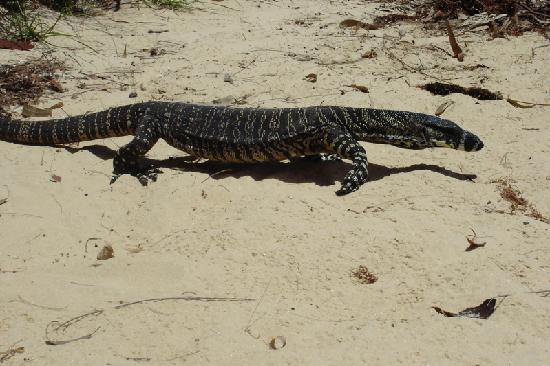 Sydney Seaplanes: Lizard taking its first walk by to see if we had food