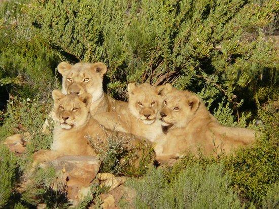 Touwsriver, Sudáfrica: Löwenfamilie am Morgen