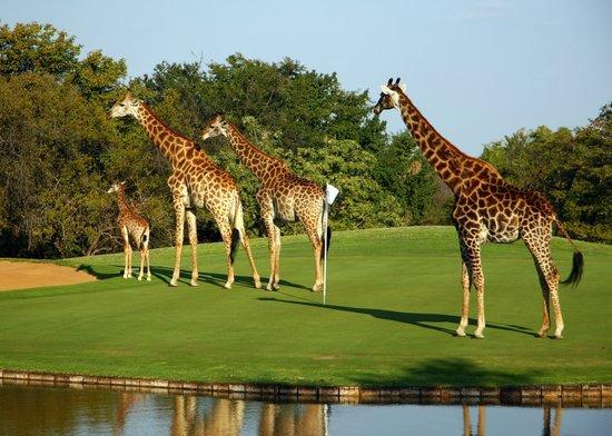 Phalaborwa, جنوب أفريقيا: Giraffe on Golf course