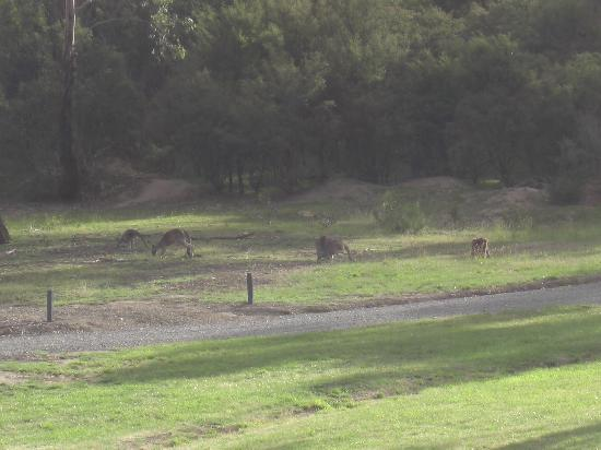 Yering Gorge Cottages: Kangaroos in front of cottage