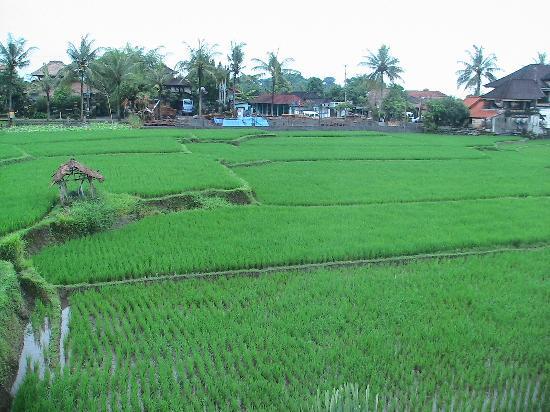 view of rice padi field at Tegal Sari