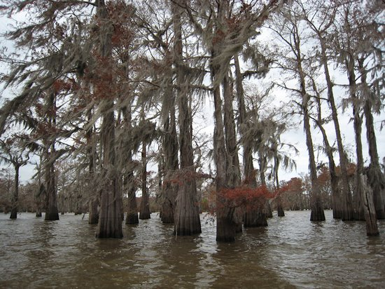 Lafayette, Louisiane : Cypress at the Atchafalaya