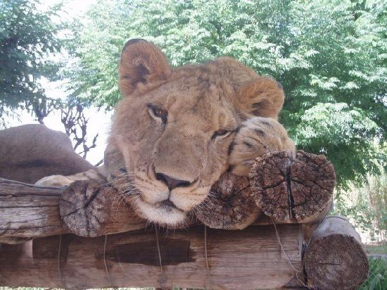 Harnas Wildlife Foundation: This is one of the lions we took out on the lion walk !