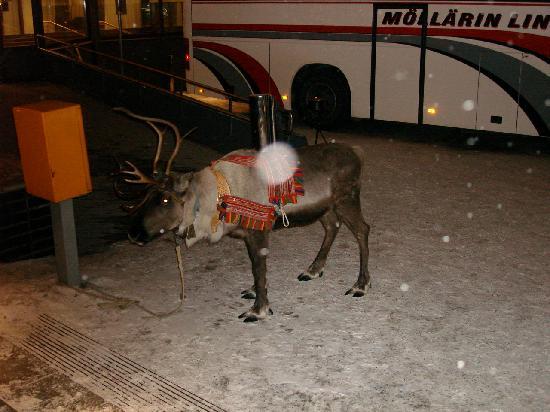 Rantasipi Pohjanhovi: reindeer who brings the guy to the gala dinner